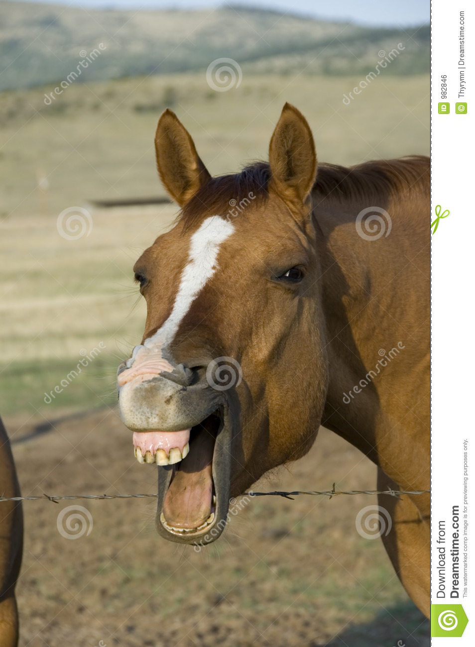 Laughing Horse Royalty Free Stock Image Image 982846