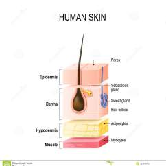 Dermis Layer Diagram Carrier Air Conditioner Wiring Layers Of Normal Human Skin Stock Vector Illustration Gland Healthy With Hair Follicle Sweat And Sebaceous Glands Epidermis Hypodermis Muscle Tissue For Your