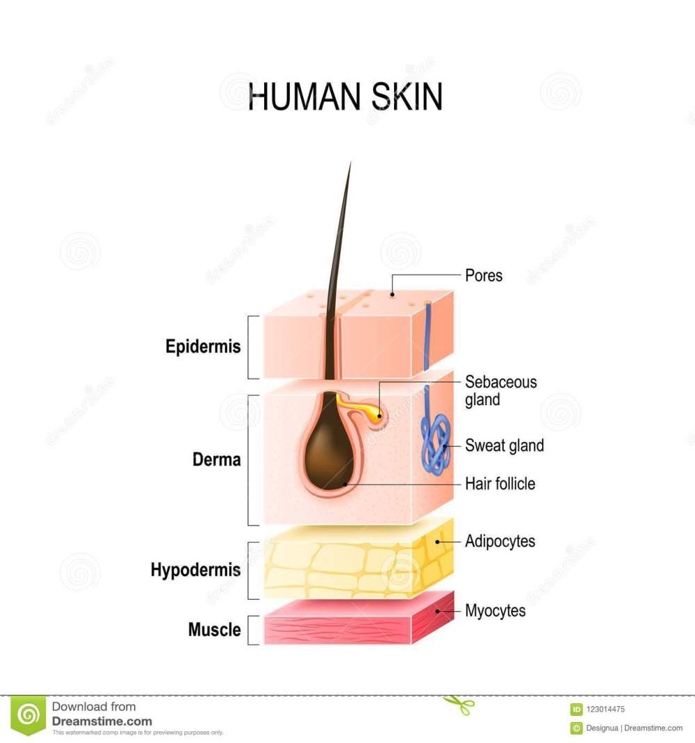medium resolution of layers of normal human skin