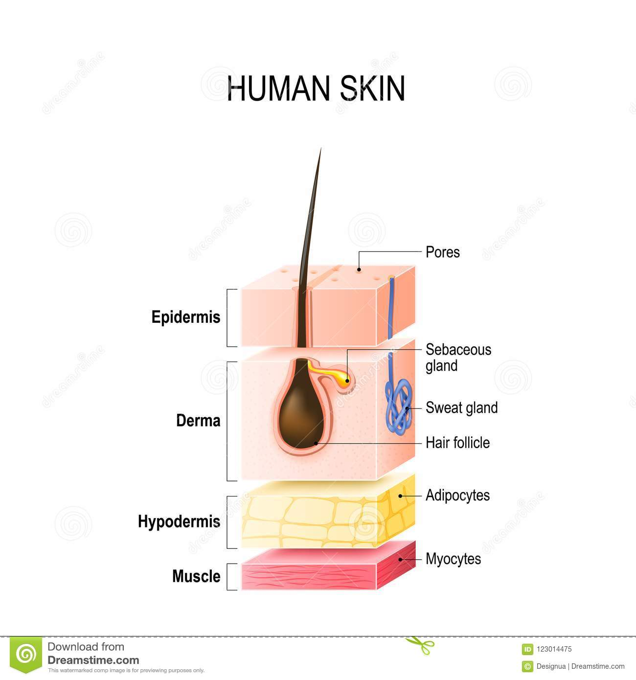 hight resolution of layers of normal human skin
