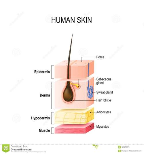 small resolution of layers of normal human skin