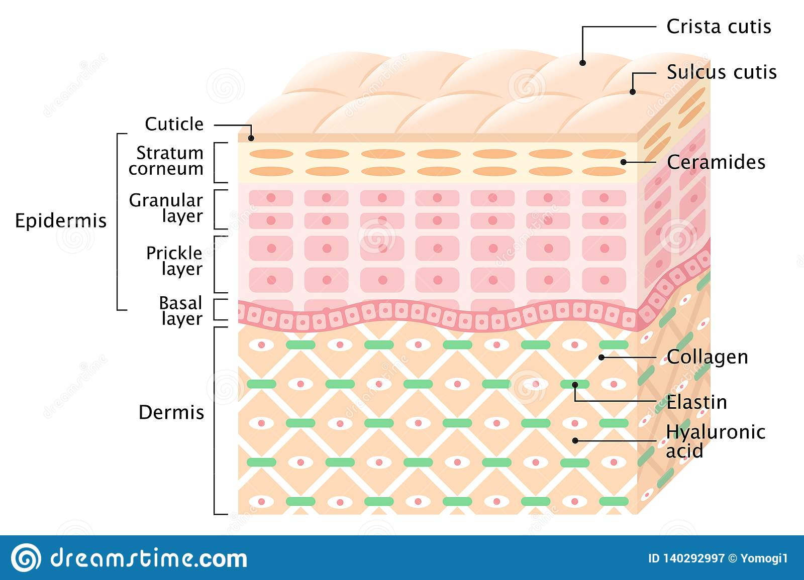 Layers Of The Human Skin Skin Care Concept Stock Vector