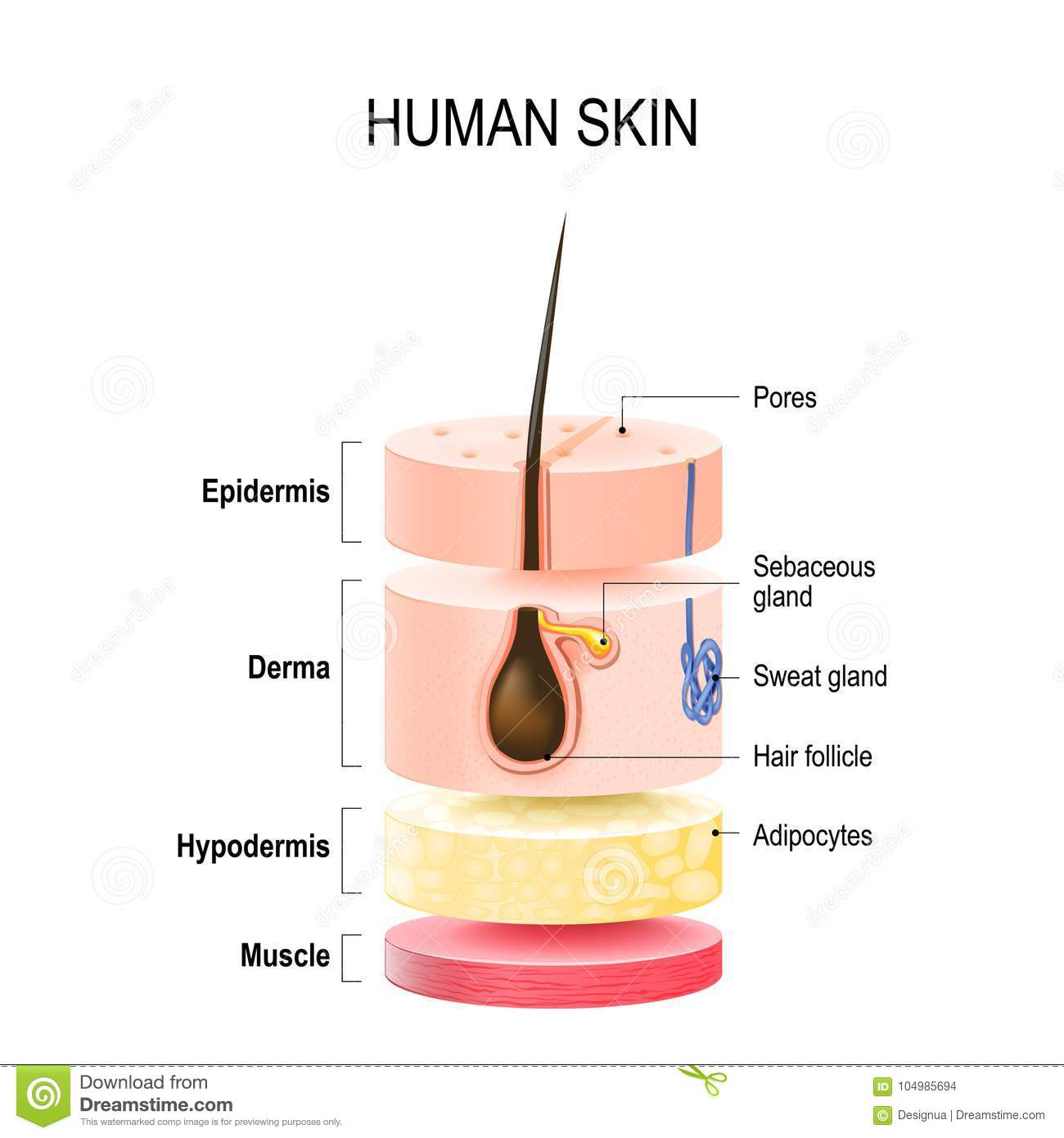 Layers Of Human Skin Stock Vector Illustration Of Beauty