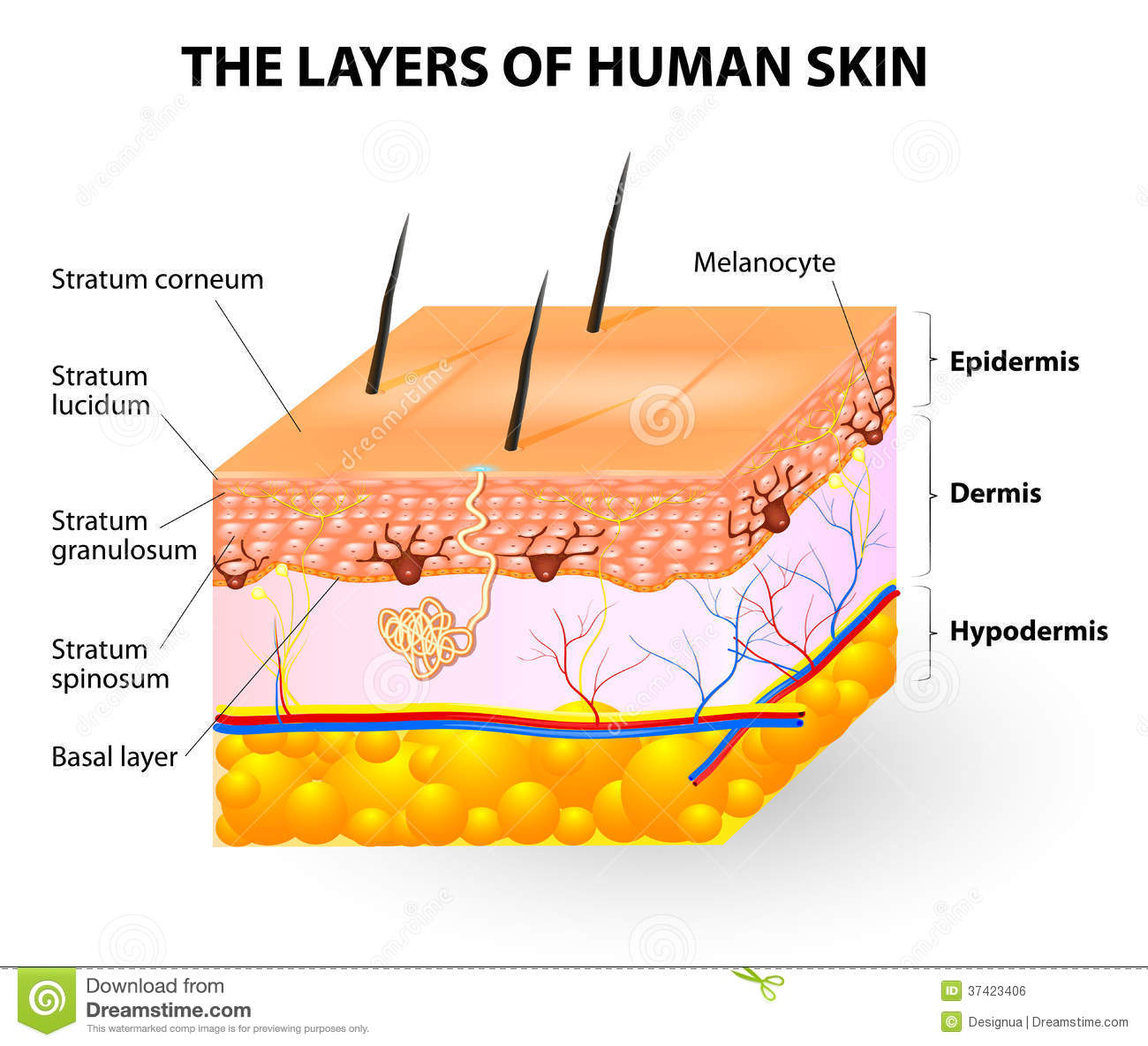 hight resolution of layers of human skin melanocyte and melanin