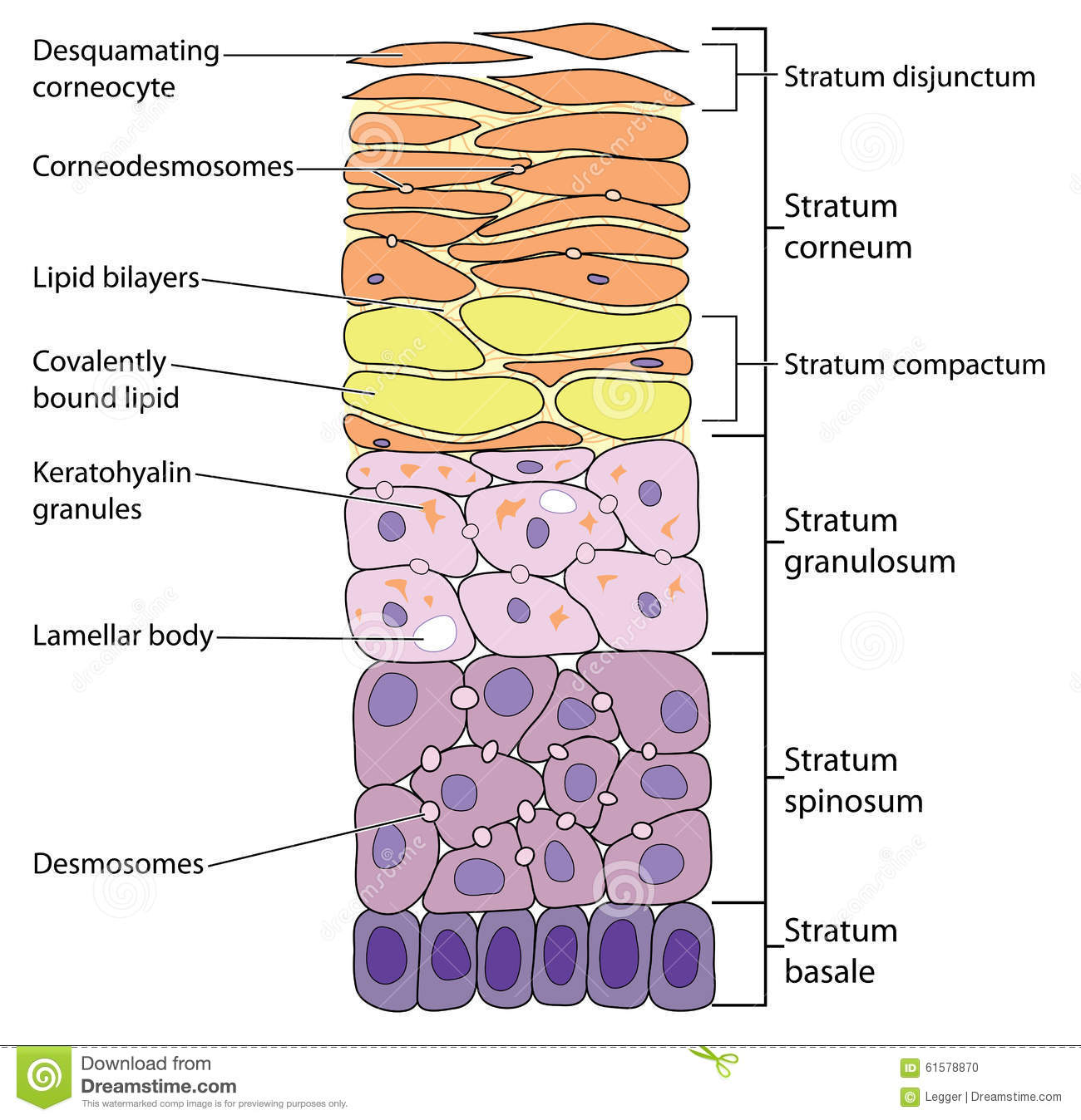 Layers Of The Epidermis Worksheet