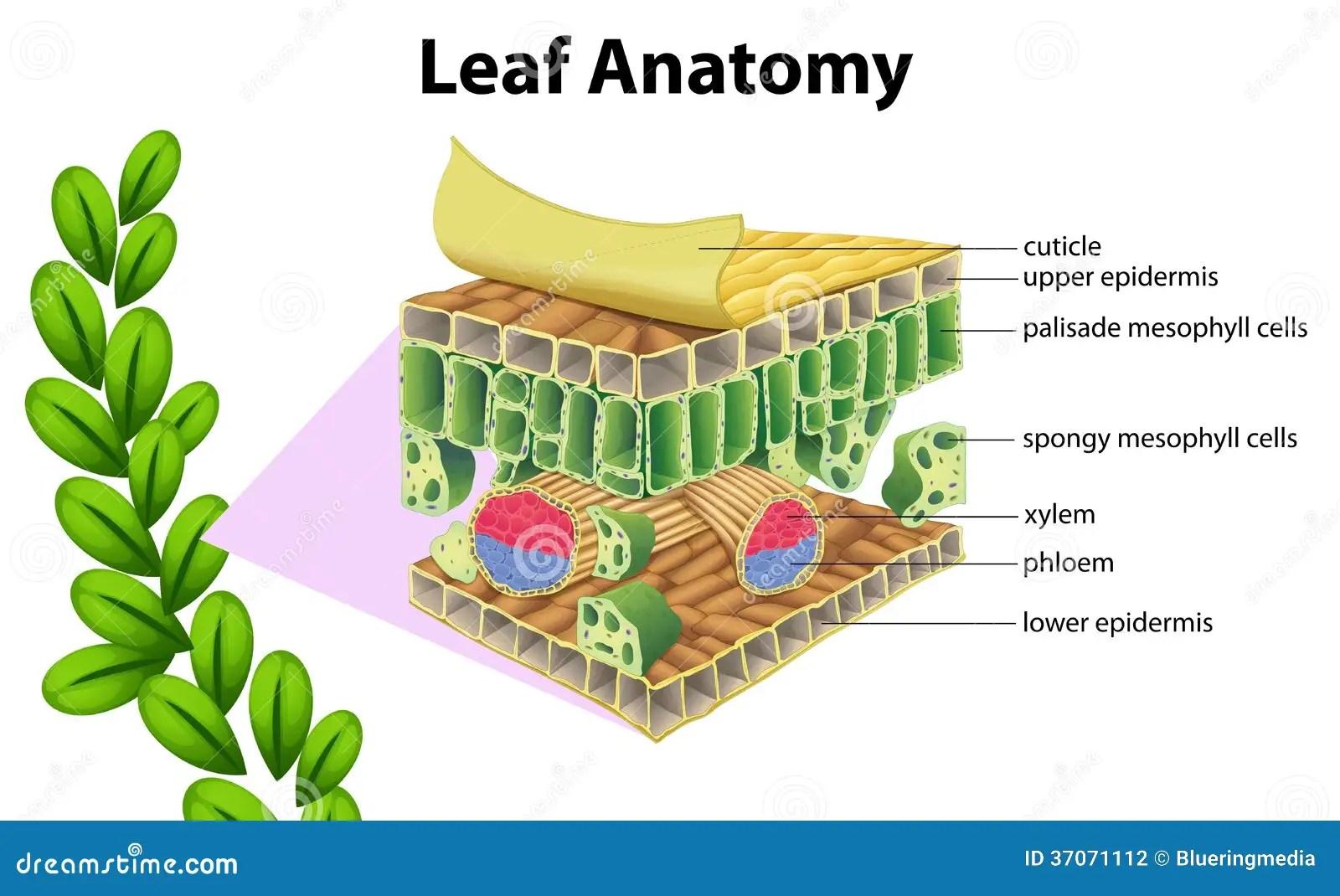 palisade cell diagram plant mercruiser 260 alternator wiring leaf anatomy stock vector illustration of epidermis
