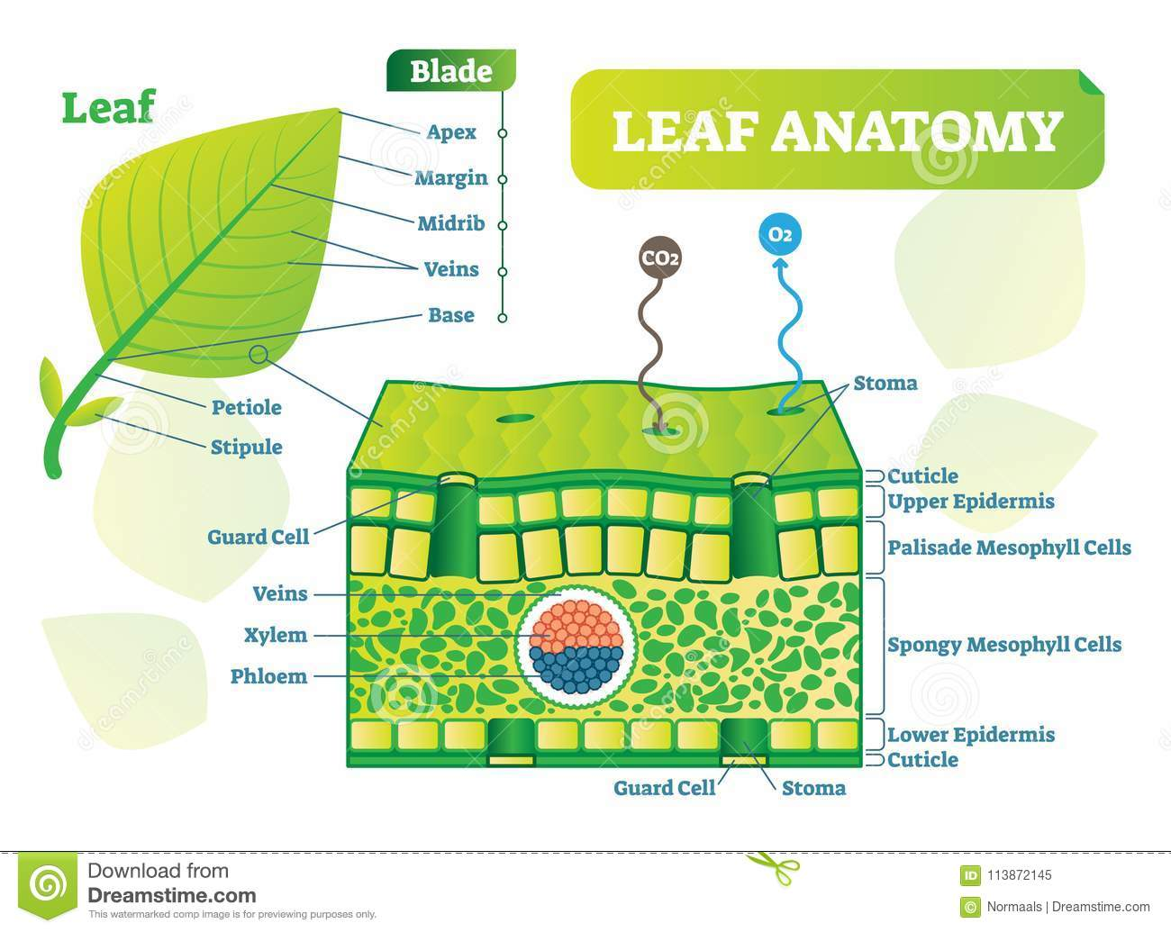 Leaf Anatomy Vector Illustration Diagram Biological Macro