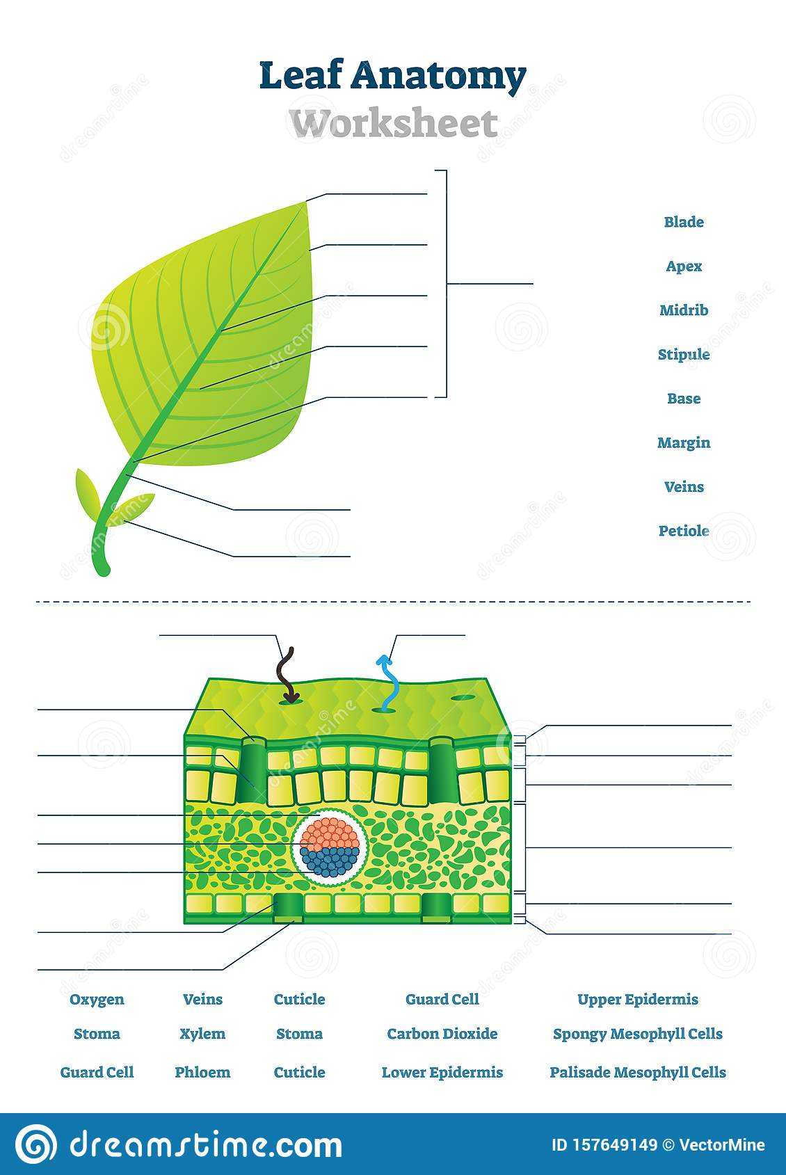 Leaf Anatomy Worksheet Vector Illustration Labeled Blank
