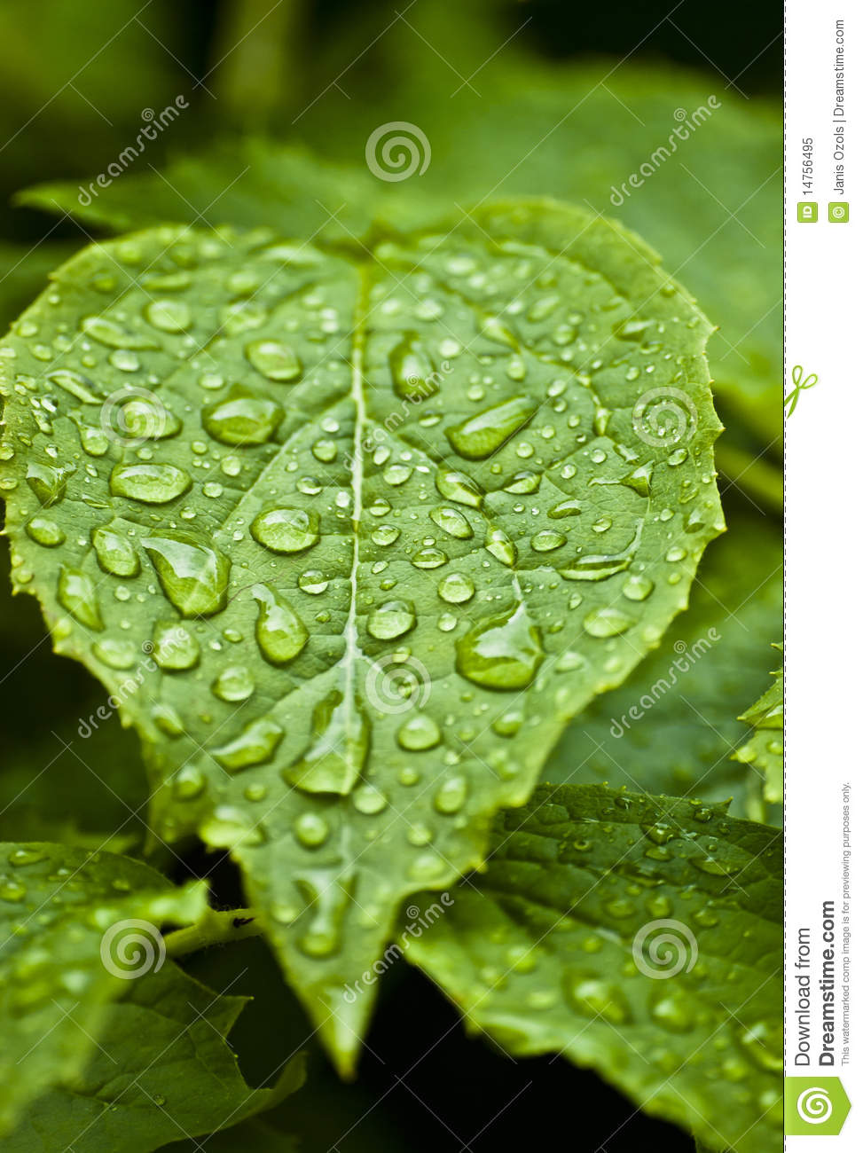 Beautiful Leaf Hd Wallpaper Leaf With Rain Drops Royalty Free Stock Photo Image