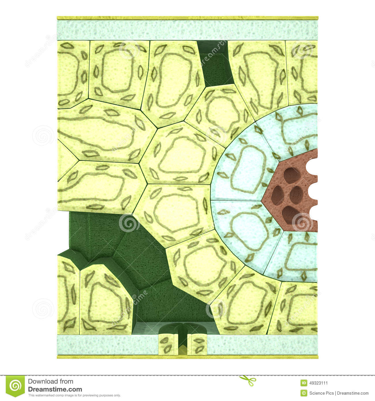 Green Leaves And Cell Plant Diagram Cartoon Vector