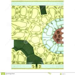 Mesophyll Cell Diagram Kusudama Flower Green Leaves And Plant Cartoon Vector