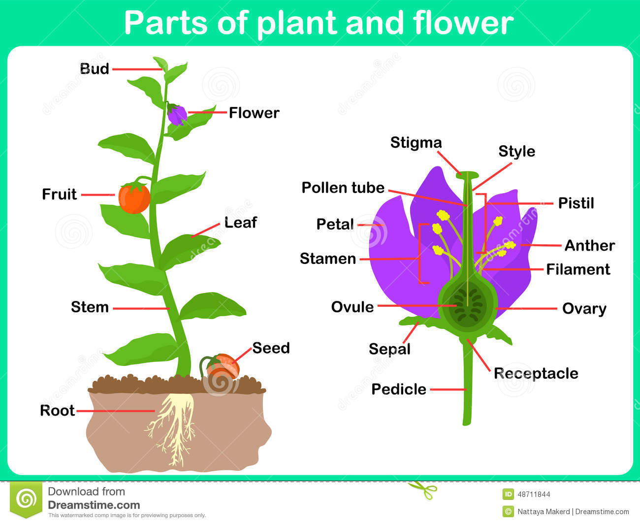hight resolution of leaning parts of plant and flower for kids