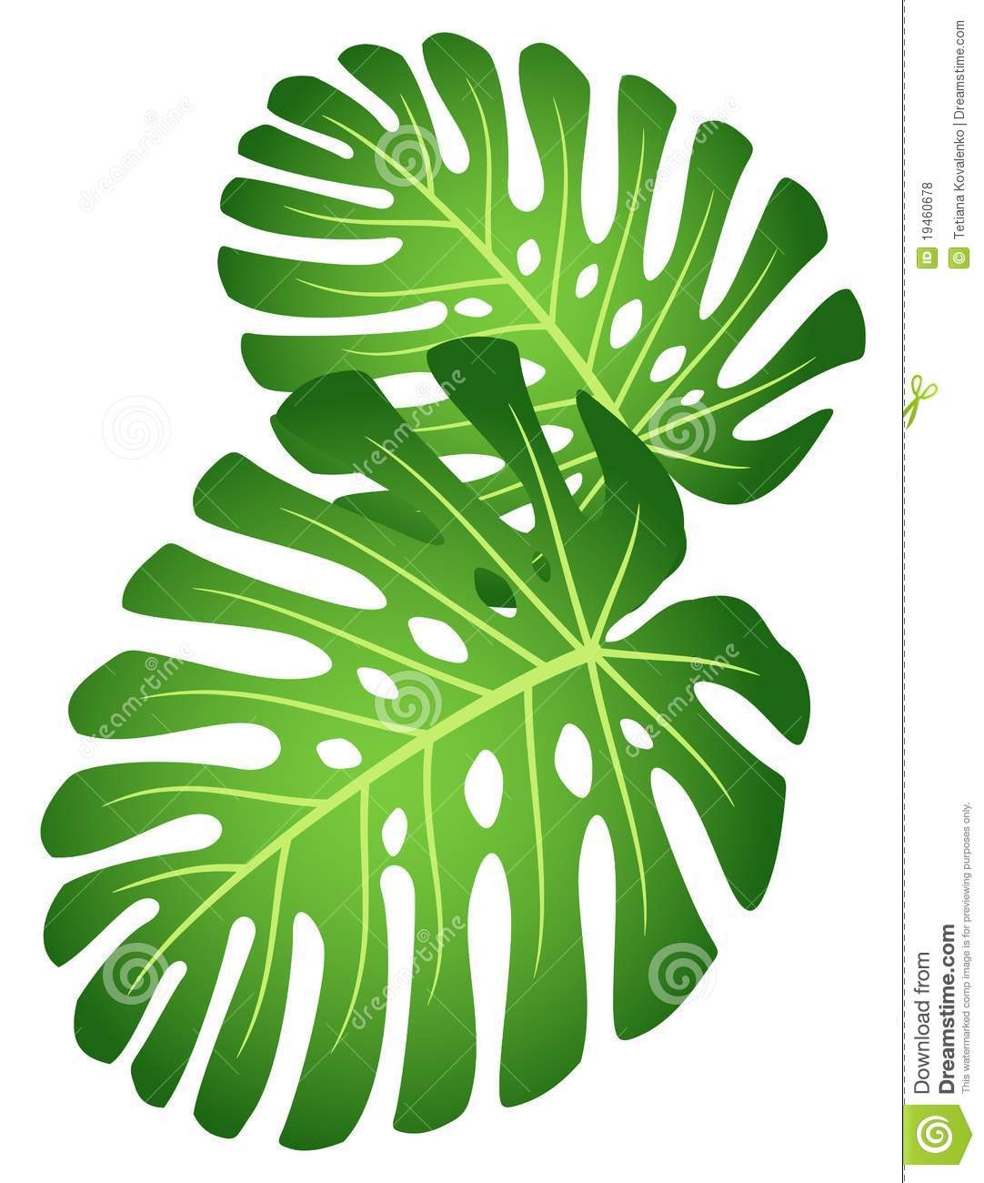 Leaves Of Tropical Plant  Monstera Royalty Free Stock