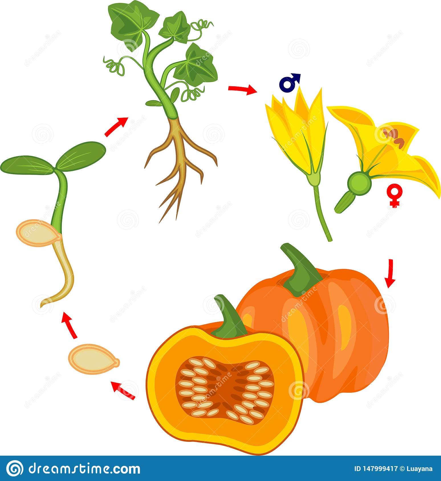Life Cycle Of Pumpkin Plant Growth Stages From Seed To