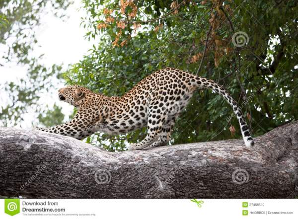 Leopard Stretching On Tree