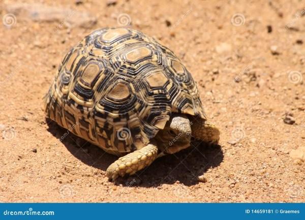 Leopard Tortoise Stock - 14659181