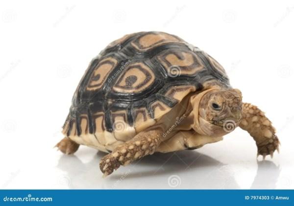 White Leopard Tortoise