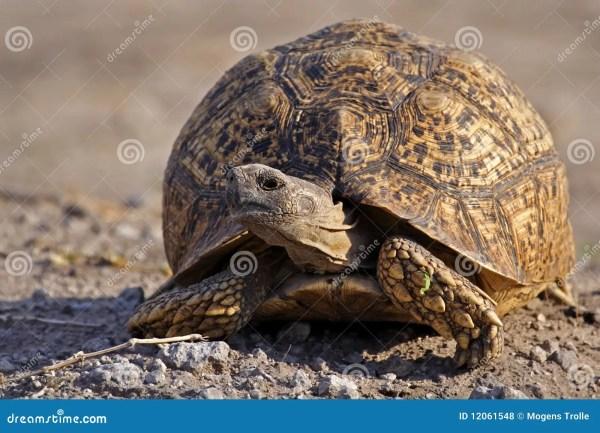 Leopard Tortoise Botswana Stock Of Safari