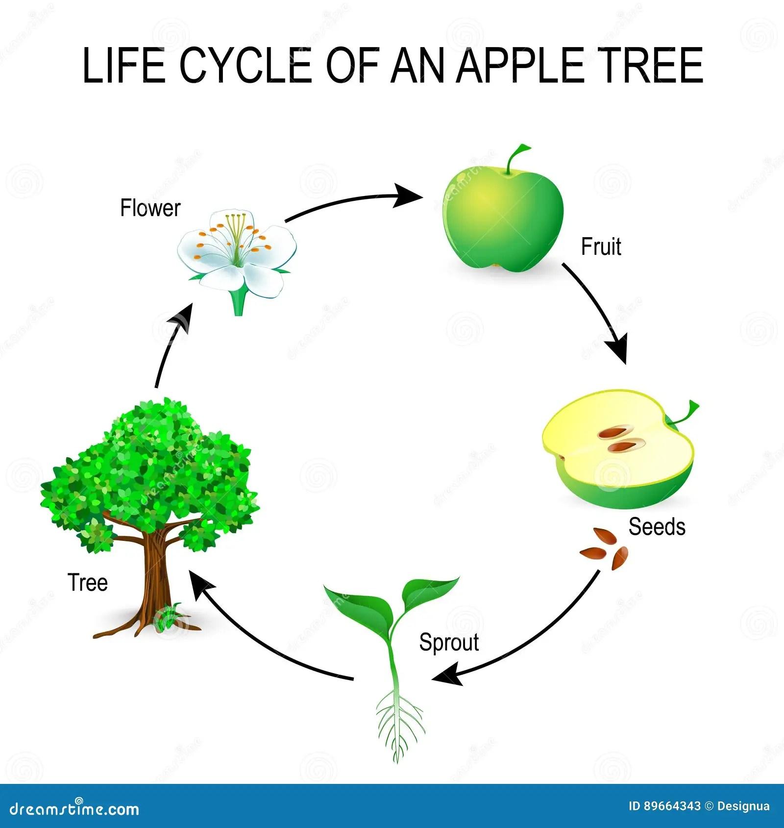 diagram of an apple worksheet kawasaki mule 3010 ignition wiring life cycle tree stock vector illustration