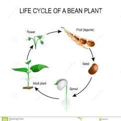 Bean Seedling Diagram 6 Pin Trailer Plug Wiring Australia Plant Growth Stages