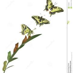Tiger Shark Life Cycle Diagram Ge Monogram Oven Wiring Of Butterfly Stock Image 37569551