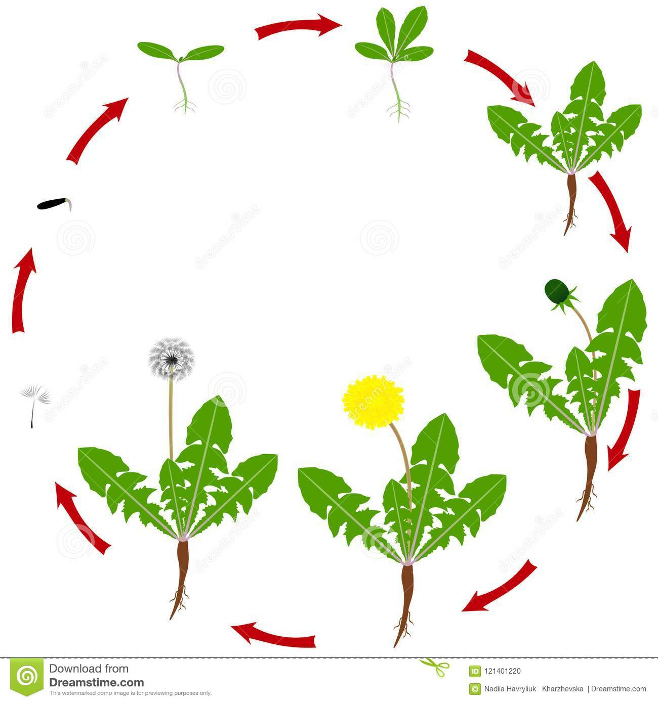 Life Cycle Dandelion Stock Illustrations 49 Life Cycle