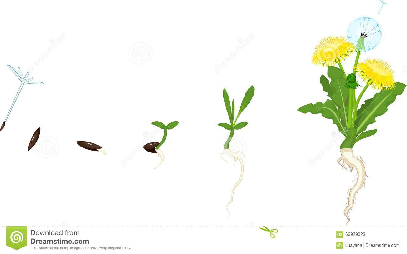 Life Cycle Of Dandelion Stock Vector Illustration Of