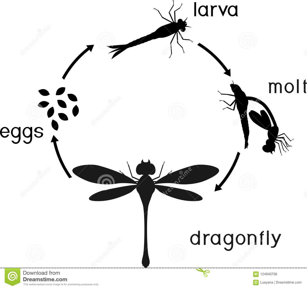 Life Cycle Of Dragonfly Sequence Of Stages Of Development