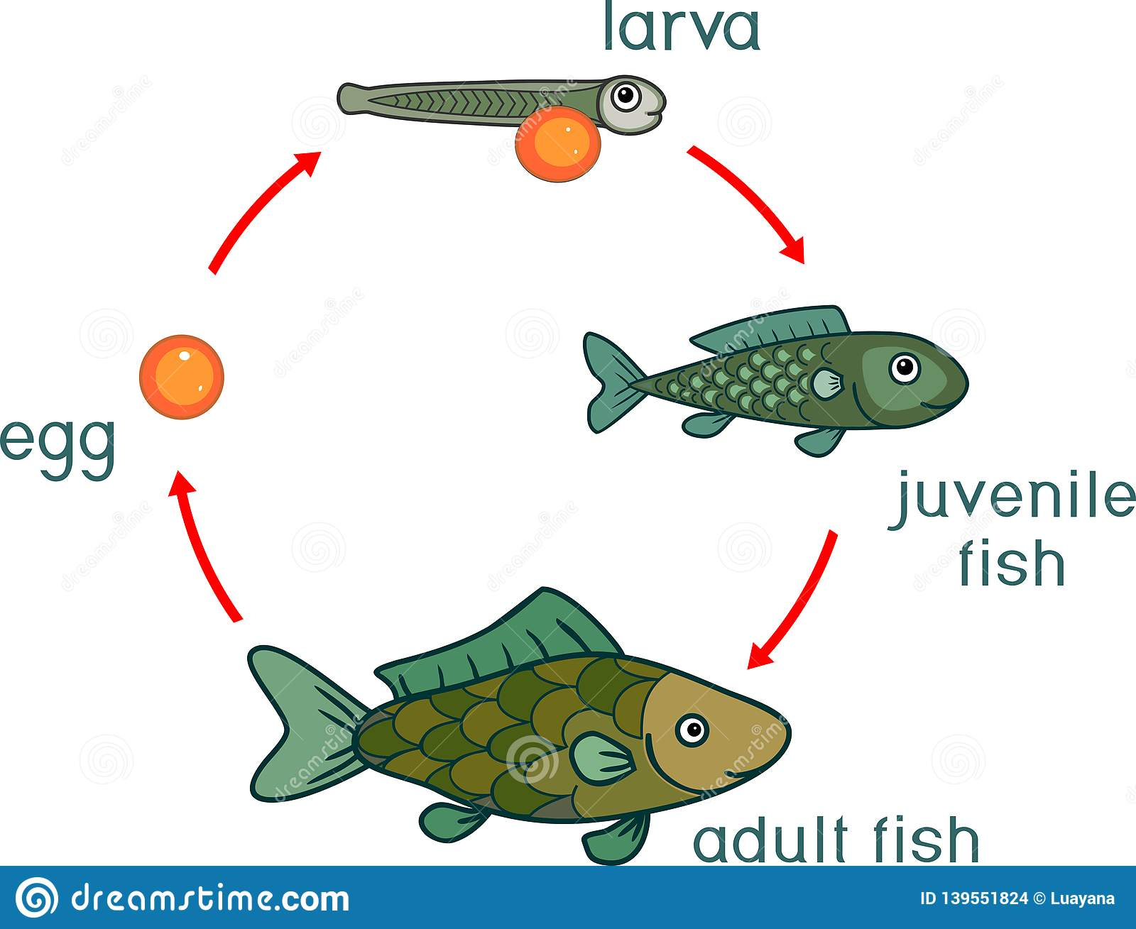 hight resolution of life cycle of fish sequence of stages of development of fish from egg roe to