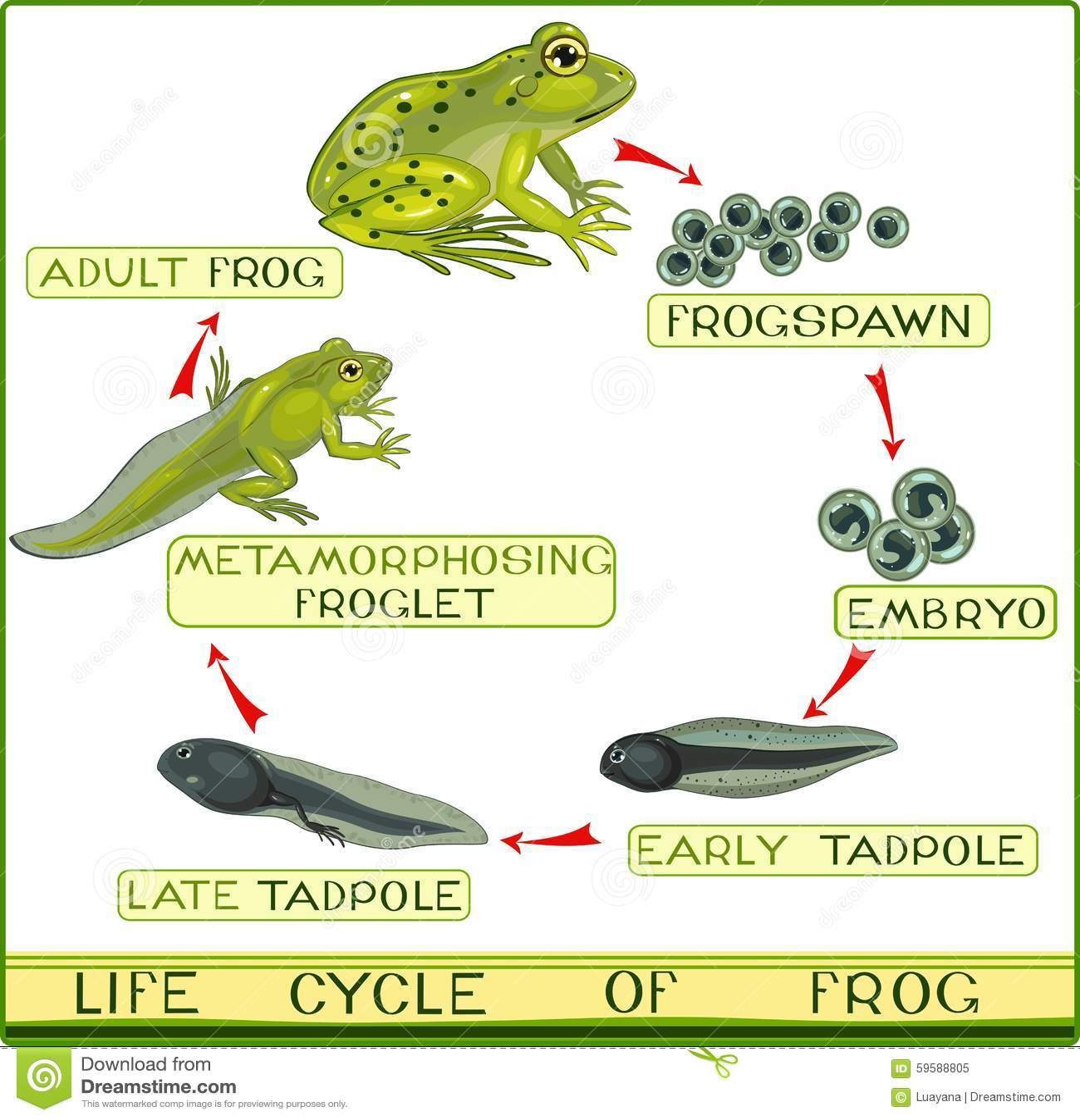 lizard life cycle diagram d85 digital meter wiring of frog stock vector illustration