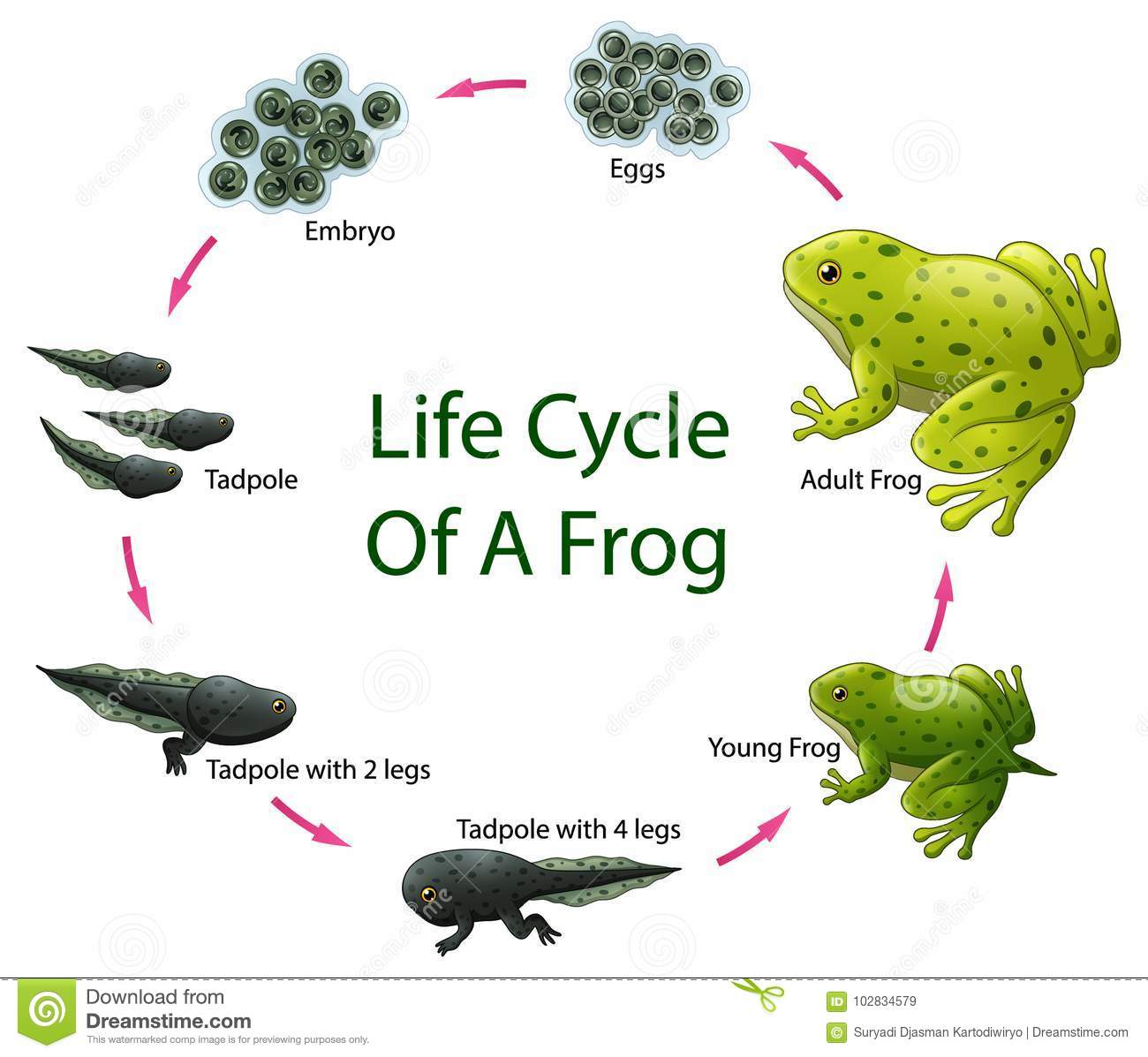 Life Cycle Frog Stock Illustrations 137 Life Cycle Frog