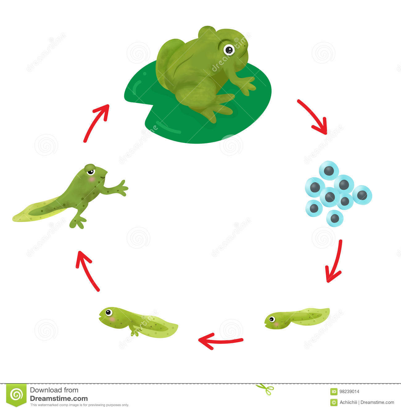 The Life Cycle Of A Frog Stock Vector Illustration Of