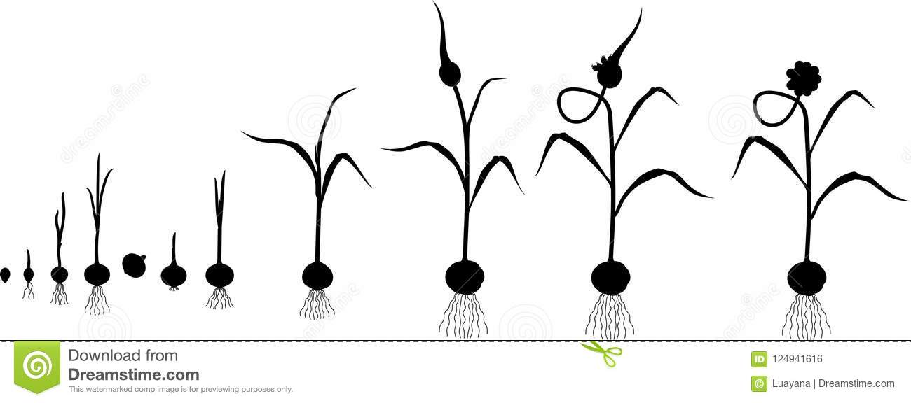 Life Cycle Of Garlic Plant. Growth Stages From Bulbil To