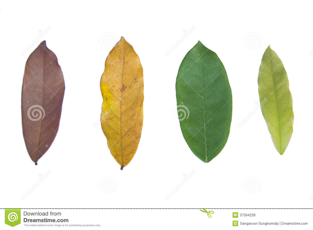 Life Cycle Of Leaves Stock Photo Image Of Fall Four