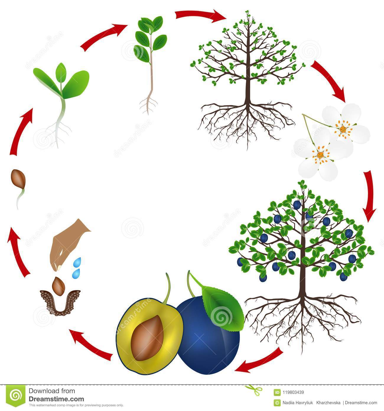 Life Cycle Of A Plum Tree On A White Background Stock