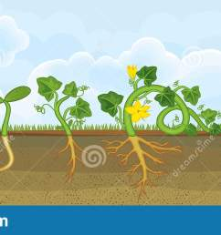 life cycle of pumpkin plant growth stages from seeding to flowering and fruit bearing [ 1600 x 707 Pixel ]