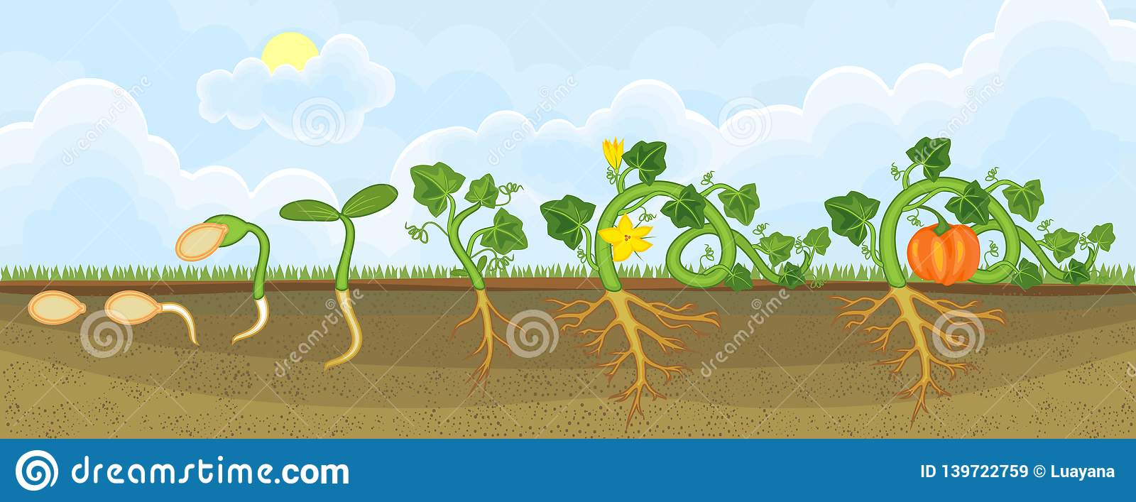 hight resolution of life cycle of pumpkin plant growth stages from seeding to flowering and fruit bearing
