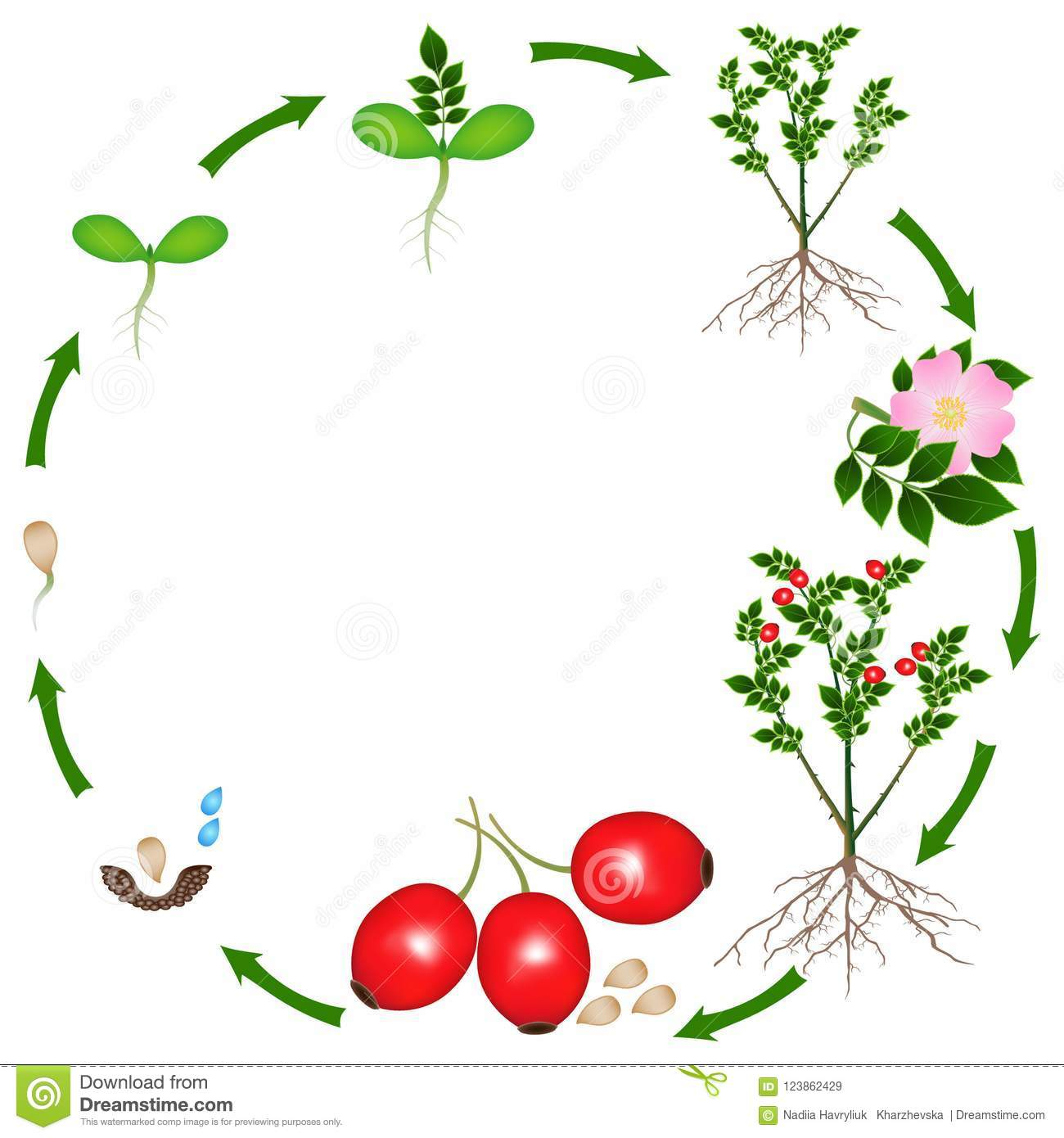 Life Cycle Of A Rose Hips Plant On A White Background