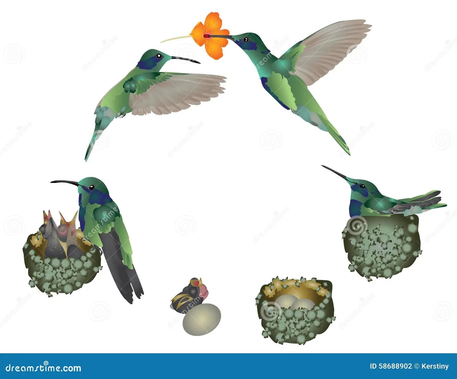 bird life cycle diagram crochet flower pattern of hummingbird stock illustration
