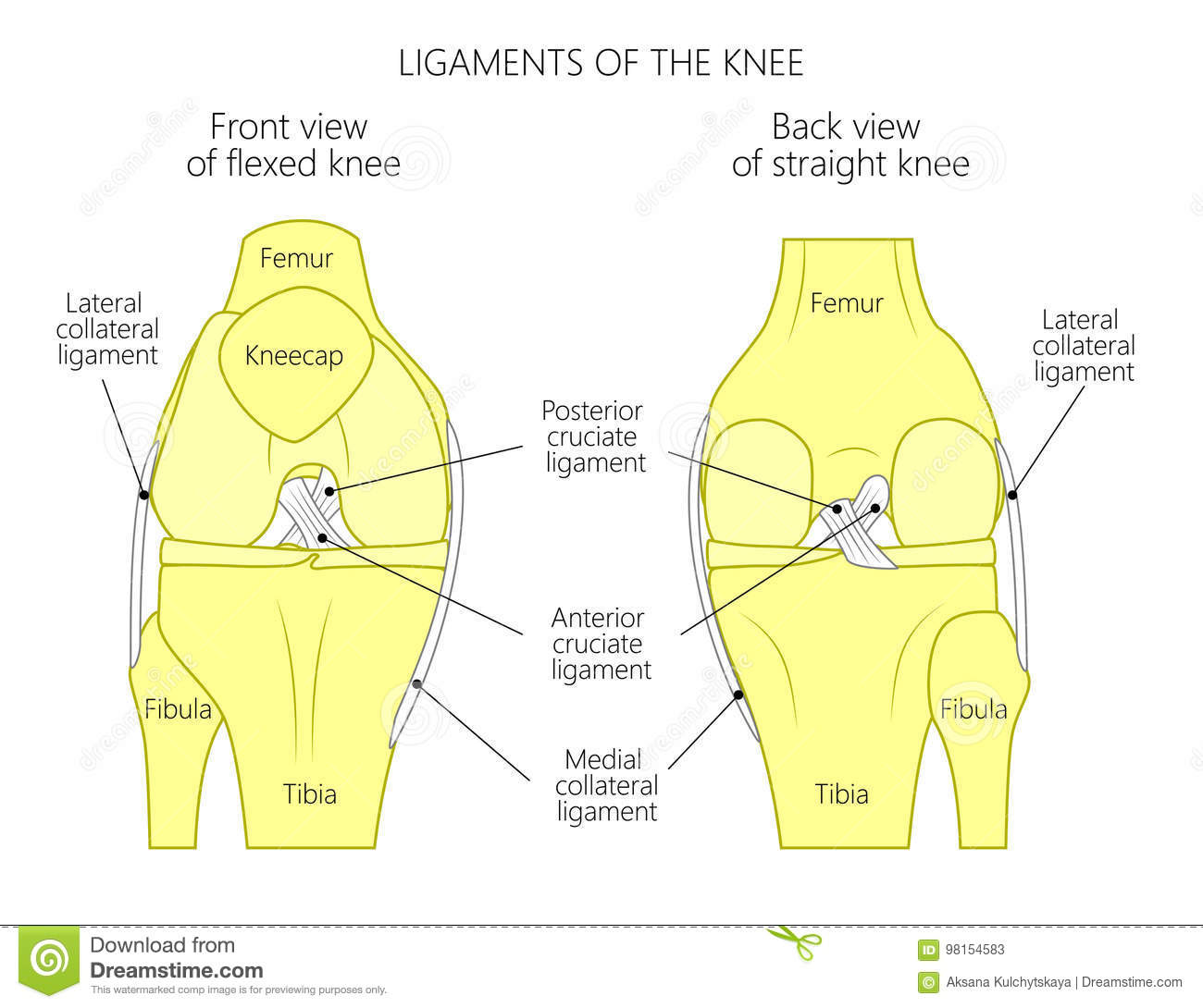 hight resolution of vector illustration anatomy of a healthy knee joint anterior or front view of flexed knee and posterior or back view of straight knee