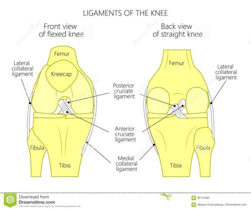 small resolution of vector illustration anatomy of a healthy knee joint anterior or front view of flexed knee and posterior or back view of straight knee