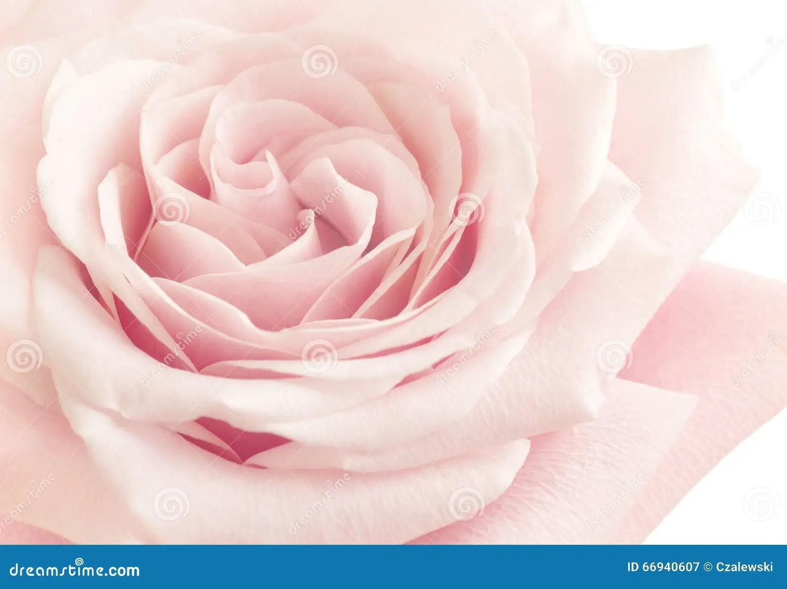 Light Pink Rose Flower stock image Image of flower pink