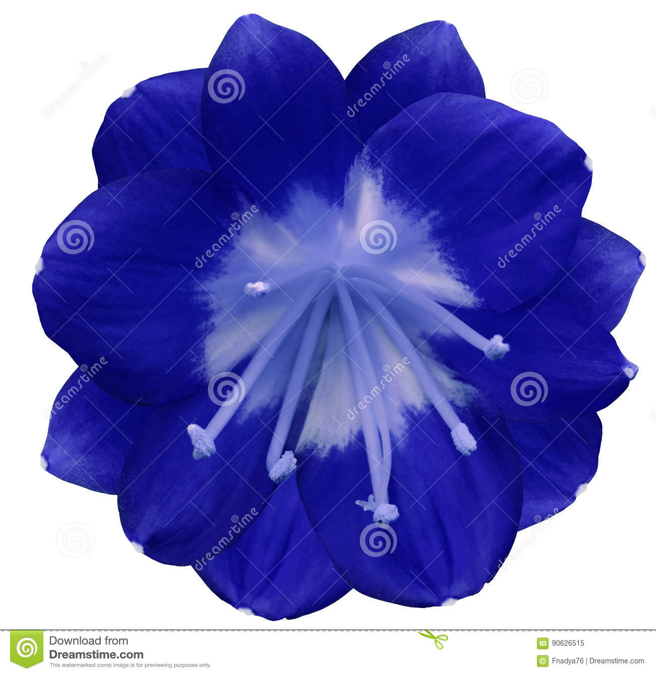 lily blue flower isolated