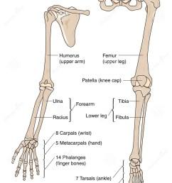 limb bones [ 963 x 1300 Pixel ]