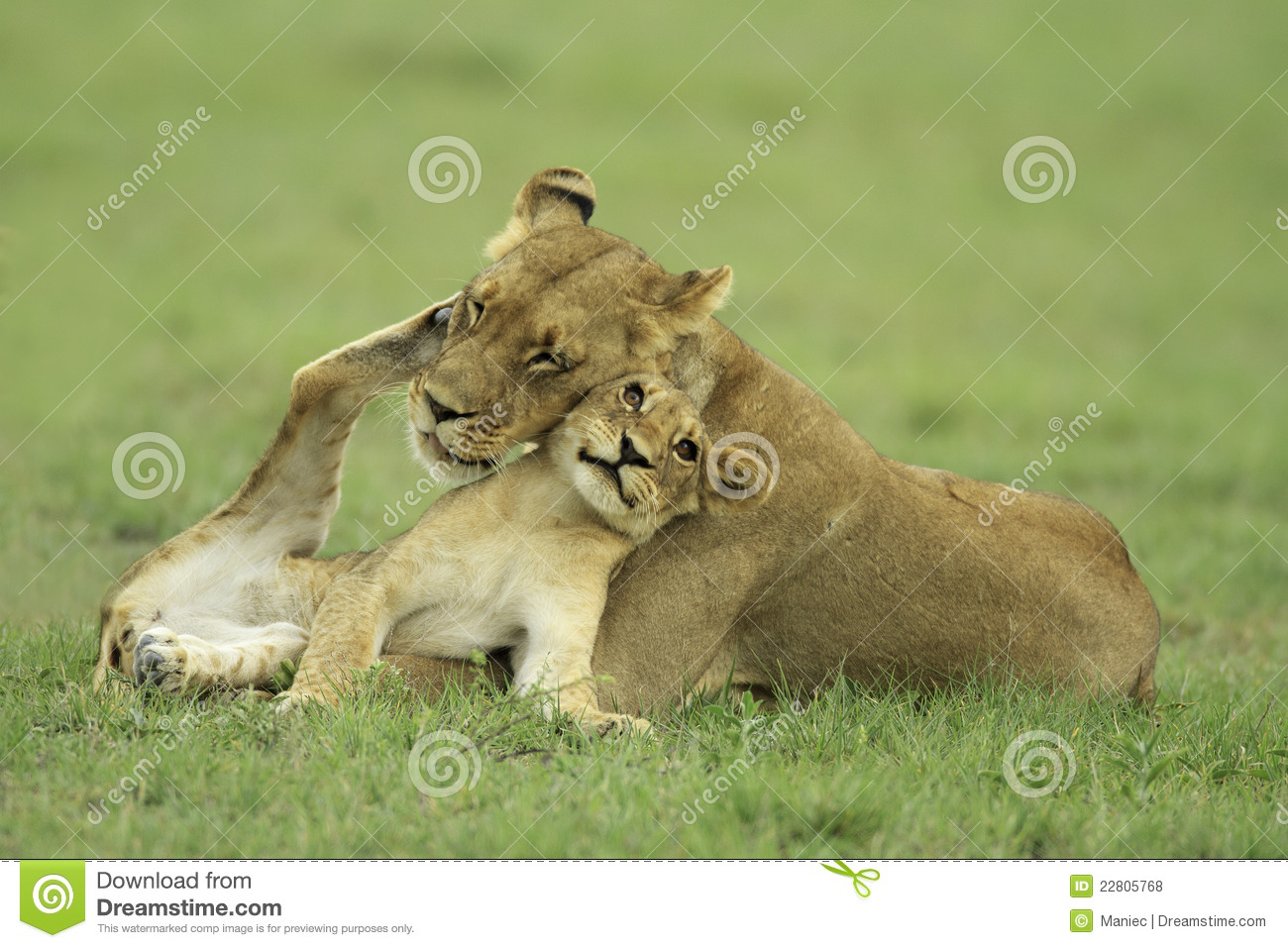 Cute Haunter Wallpaper Lion Cub And Lioness Stock Photo Image Of Mother
