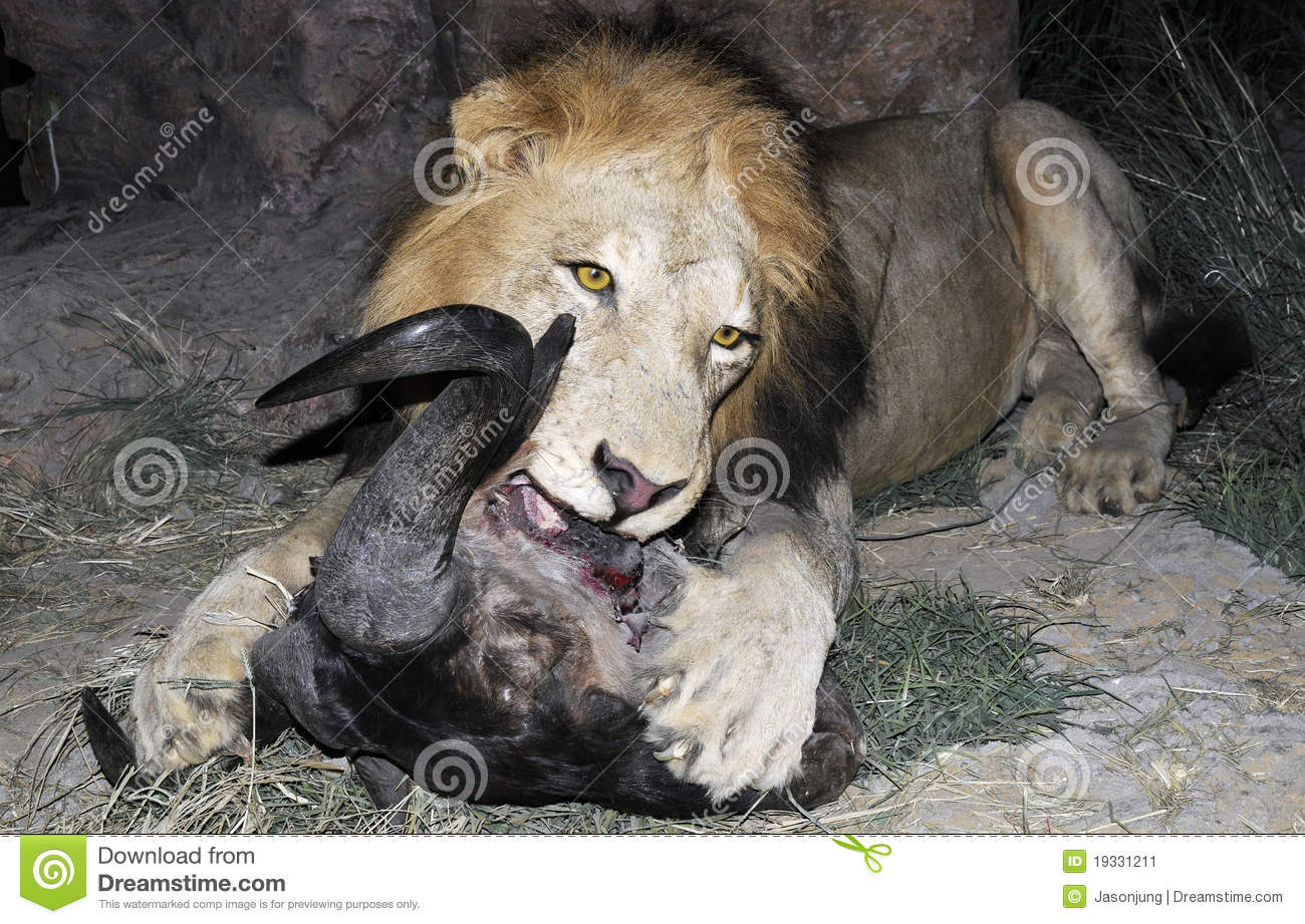 Lion King Eating Stock Image
