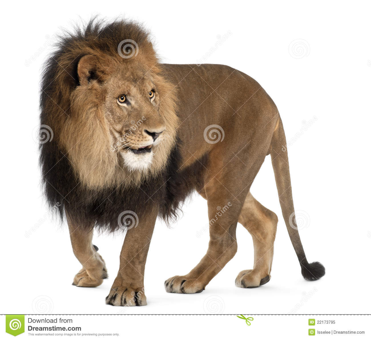 Lion Panthera Leo 8 Years Old Standing Stock Image