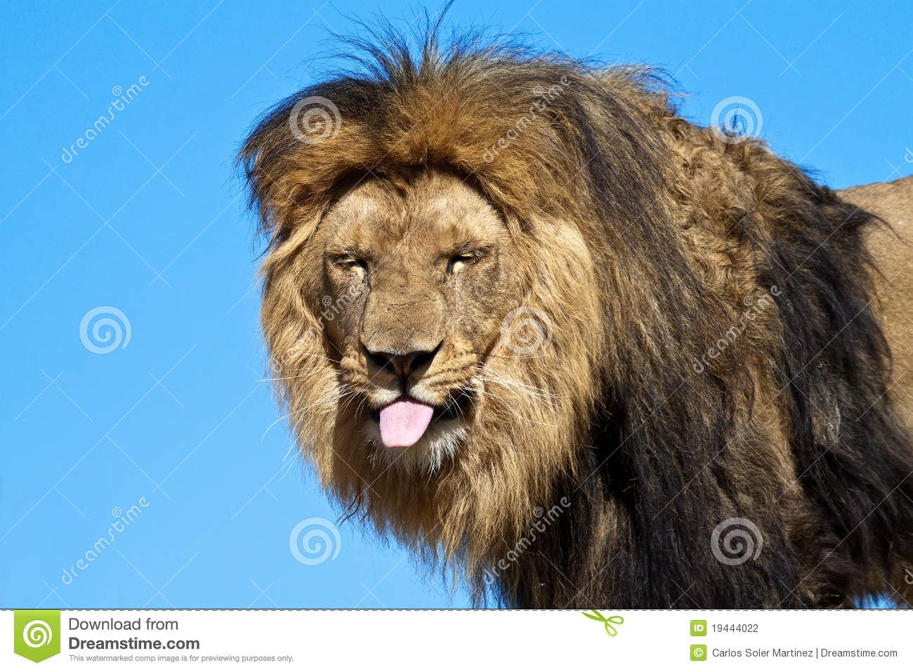 Lion Sticking Out His Tongue Teasing Stock Photo