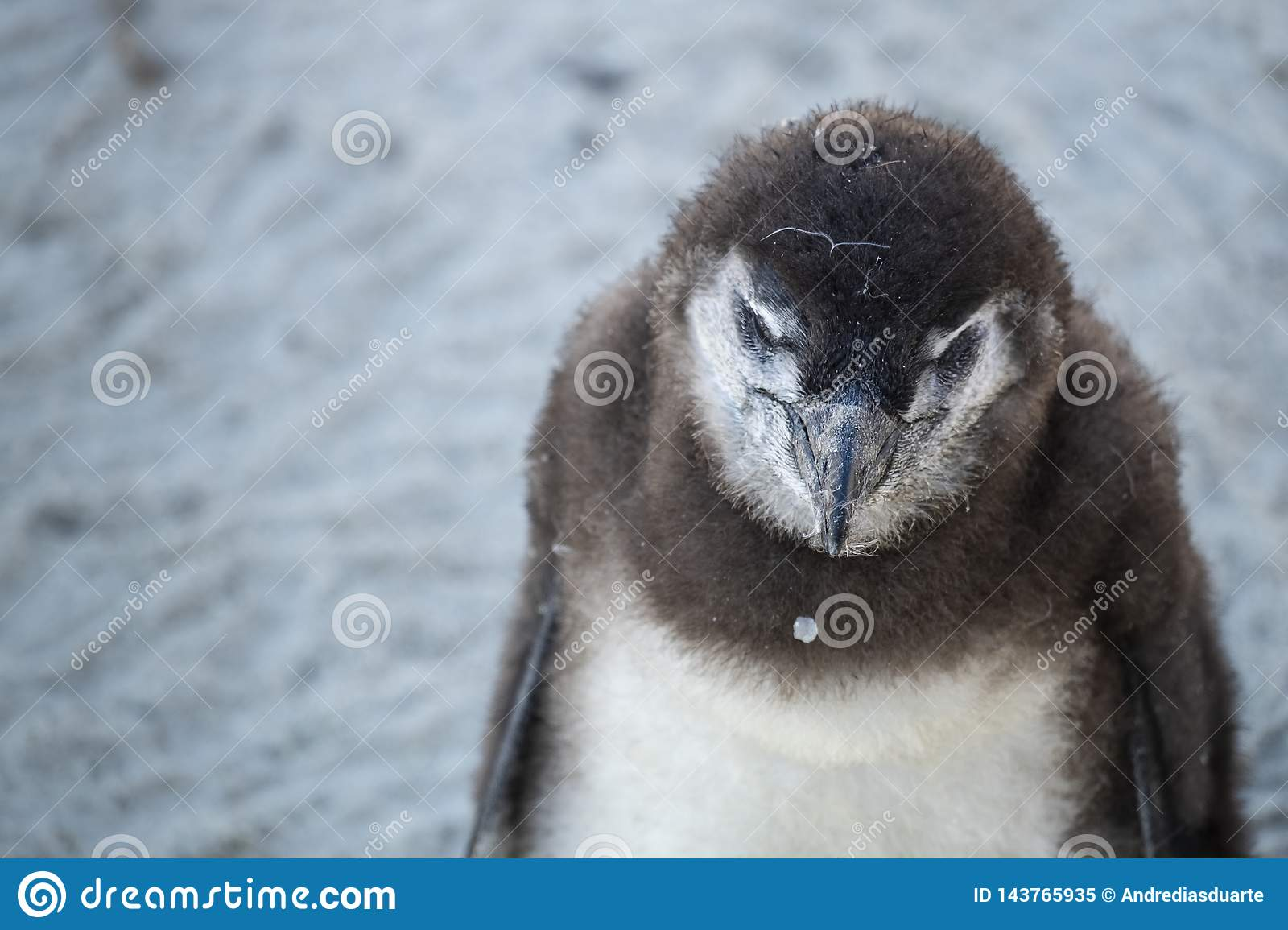 young penguin at the