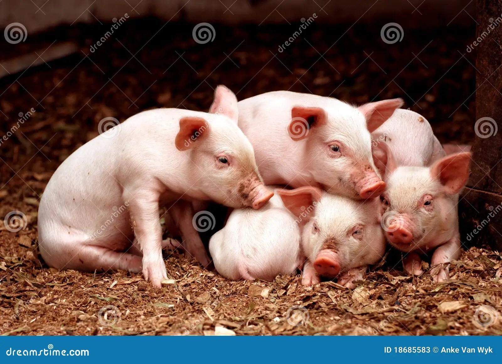 Little Piglets Stock Photos  Image 18685583
